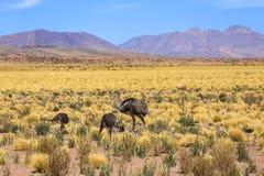 Pájaro de Rhea en el desierto de Atacama Fotografía de archivo
