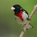 Pájaro de Rose-breasted Fotografía de archivo libre de regalías