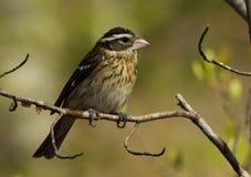 Pájaro de Rose-Breasted imagen de archivo libre de regalías