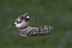 Pájaro de Rose Breasted Foto de archivo libre de regalías