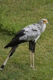 Pájaro de secretaria Fotografía de archivo