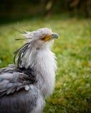 Pájaro de secretaria imagenes de archivo
