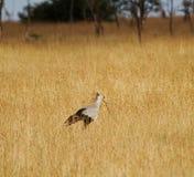 Pájaro de secretaria Fotos de archivo libres de regalías
