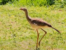 Pájaro de Seriema del bonito el Brasil Imagen de archivo libre de regalías