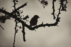 Pájaro de Smill de la sepia en Thorn Tree Silhouette Foto de archivo libre de regalías