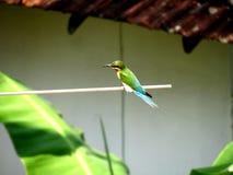 Pájaro de Sri Lanka Imagen de archivo libre de regalías