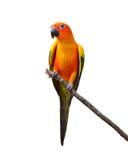 Pájaro de Sun Conure Foto de archivo