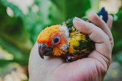 Pájaro de Sun Conure del primer fotografía de archivo libre de regalías