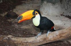 Pájaro de Toucan Imagen de archivo