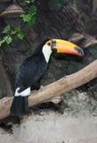 Pájaro de Toucan Fotografía de archivo
