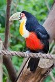 Pájaro de Toucan en Gramado el Brasil Fotografía de archivo libre de regalías