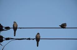 Pájaro de tres palomas en línea eléctrica contra fondo claro del cielo Imagenes de archivo