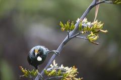 Pájaro de Tui Imagen de archivo libre de regalías