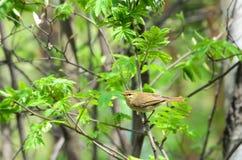 Pájaro de un especie de ave de ojos enrojecidos fotos de archivo libres de regalías