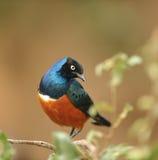 Pájaro de Valencia Fotos de archivo libres de regalías