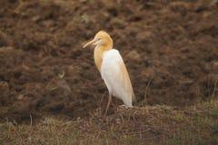 Pájaro de Vettangudi Fotografía de archivo