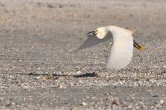 Pájaro de vuelo con la comida Fotos de archivo