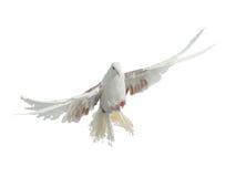 Pájaro de vuelo de la casta del pavo real de la paloma imagen de archivo libre de regalías