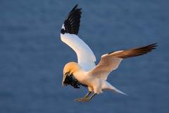 Pájaro de vuelo Gannet septentrional que vuela con el material de la jerarquización en el pájaro de la cuenta en mosca con la agu Imagen de archivo