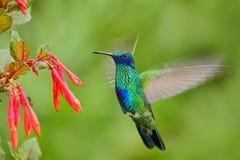 Pájaro de vuelo Pájaro con la flor roja Pájaro en el pájaro del bosque en mosca Escena de la acción con el pájaro Pájaro verde y  Fotografía de archivo libre de regalías