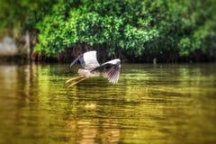 Pájaro de vuelo sobre un río Fotografía de archivo libre de regalías
