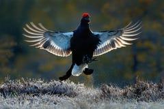 Pájaro de vuelo Urogallo negro, tetrix del Tetrao, pájaro negro agradable lekking en la región pantanosa, cabeza roja del casquil Fotos de archivo libres de regalías