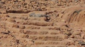 Pájaro de Wadi Rum Chukar que se coloca en las escaleras del desierto almacen de metraje de vídeo