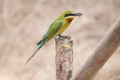 pájaro del Abeja-comedor Foto de archivo libre de regalías