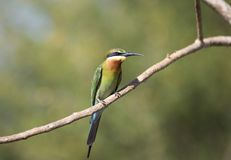 pájaro del Abeja-comedor de Sri Lanka Imagen de archivo libre de regalías