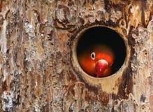 Pájaro del amor Foto de archivo