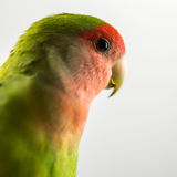 Pájaro del amor Imagen de archivo libre de regalías