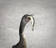 Pájaro del Anhinga Foto de archivo libre de regalías