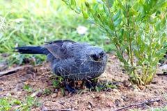 Pájaro del apóstol Imagenes de archivo