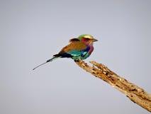 Pájaro del arco iris fotografía de archivo libre de regalías