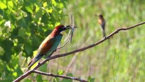 Pájaro del arco iris que se sienta en una rama de libélulas en su pico metrajes