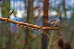 Pájaro del azul y de los yellos con un pecho blanco fotografía de archivo