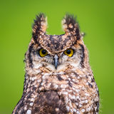 Pájaro del búho de Eagle Fotografía de archivo libre de regalías
