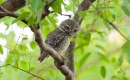 Pájaro del búho en árbol Imágenes de archivo libres de regalías