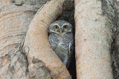 Pájaro del búho en hueco del árbol Imagen de archivo libre de regalías