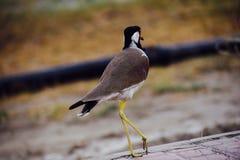 Pájaro del baile Imagen de archivo libre de regalías