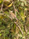 Pájaro del Blackcap en el matorral Fotos de archivo libres de regalías