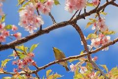 pájaro del Blanco-ojo que lleva a cabo la flor de cerezo o la rama de Sakura Foto de archivo libre de regalías