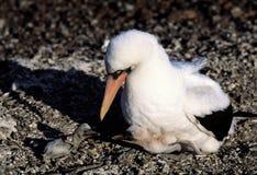 Pájaro del bobo con sus bebés Foto de archivo
