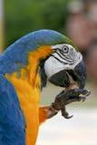 Pájaro del brasileño de Arara Fotografía de archivo