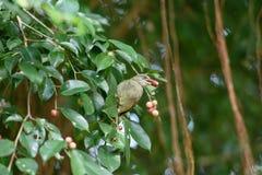 Pájaro del Bulbul Fotografía de archivo libre de regalías