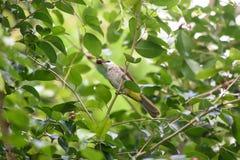 Pájaro del Bulbul Fotografía de archivo