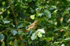 Pájaro del Bulbul Foto de archivo libre de regalías
