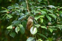 Pájaro del Bulbul Imagen de archivo