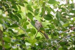 Pájaro del Bulbul Imagen de archivo libre de regalías