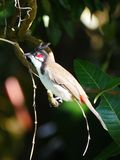 Pájaro del Bulbul encaramado en rama de árbol Imagenes de archivo